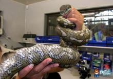 งูตะกละ เขมือบลูกกอล์ฟ