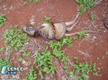 งูกินกวาง