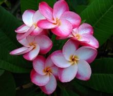 ดอกลีลาวดี 3 (Plumeria)