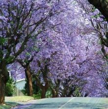 ต้นศรีตรัง (Jacaranda)