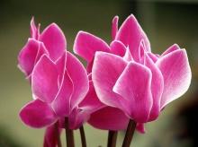 ดอกไซคลาเมน (Cyclamen) # 1