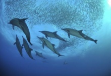 Dolphin chasing sardines