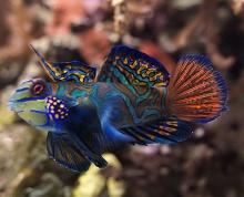 Goby ปลาบู่สวยงาม
