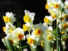 Narcissus flower•°•.° ღღღ