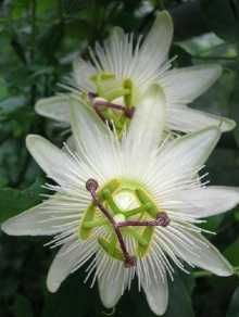 ดอกกระทกรก (เสาวรส - Passion flower)