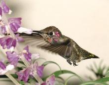 Hummingbird •°•.° ღ. 2