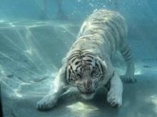 เสือขาวใต้น้ำ...สุดน่ารัก!?