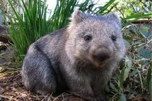 วอมแบท (Wombat) สัตว์เลี้ยงลูกด้วยนมสุดน่ารัก
