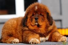 หมาพันธุ์ธิเบตัน ตัวใหญ่มาก