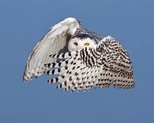 เคยเห็นมั้ย? นกฮูกหิมะ สุดงดงาม