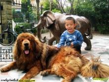 หมาทิเบต...อยากเลี้ยงซักตัวมั้ย (Tibet dog)