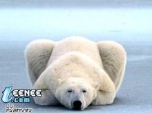 หมี  จ้า  หมี
