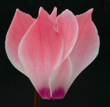 ดอกไซคลาเมน (Cyclamen) # 2