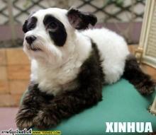 ♥♥ หมาแพนดี้ .. ของแท้ที่กำลังนิยม ♥♥