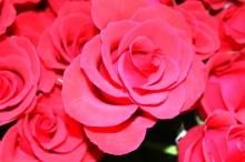 ดอกกุหลาบสวยๆ สำหรับคนที่คุณรัก