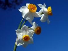 Narcissus flower•°•.° ღღღ 2