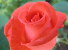 Rose Interior 1