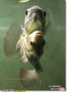 ปลาแฝด