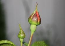 ~*~Rose Story~*~