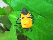 แมลงหน้าคน