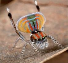 แมงมุมที่สวยที่สุดในโลก
