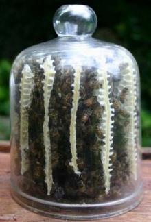 รังผึ้งในขวดแก้ว