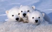 หมีโพลาร์ น่ารักน่าชัง