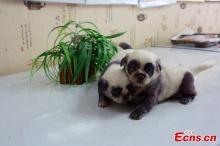 ขวัญใจชาวเน็ตจีน 'หมาแพนดี้'