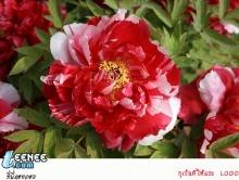 ดอกโบตั๋น ดอกไม้ตระกูลระดับฮ่องเต้ 洛阳牡丹