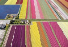 Colourful Landscape ~ Tulip Farm