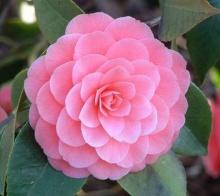 ดอกคามิลเลีย (Camillia)