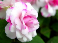 @Queen of flower@