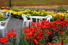 สวนดอกลิลลี่