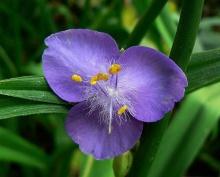 ดอกไม้สีโรแมนติก Spiderwort