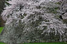 ปราสาท Hikone ในฤดูใบไม้ผลิ