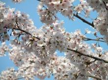ดอกไม้บาน ณ Himeji Castle