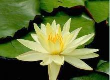 .. Lotus .. \(0^◇^0)/