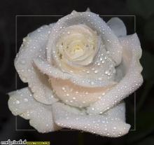 ~10 ~  Rosess FoR   F-R-I-E-N-D-s +.+