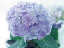 .. hydrangea ..\(^∇^)/ 2