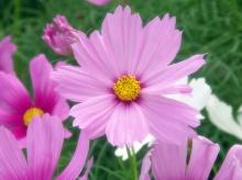 Cosmos Flower .•°•.° (o^.^o)
