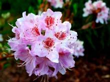 กุหลาบพันปี (Rhododendron) •°•.° ღღღ