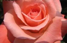 Rose Interior 2