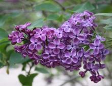 ดอกไลแลคสีม่วง จากสวนแบบญี่ปุ่น (Lilac)