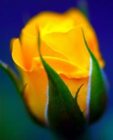 ดอกกุหลาบสีเหลือง....สำหรับคนเกิดวันพฤหัสบดี