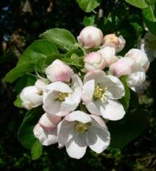 เคยเห็นกันไหมต้นแอปเปิ้ล!! (1)