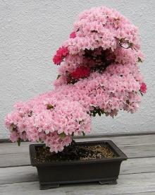 ต้นไม้สวยๆดอกเต็มต้น ( 1 )