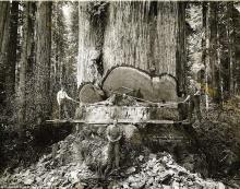 เปิดภาพประวัติศาสตร์ ช่างตัดไม้โค่นต้นสนแดงขนาดยักษ์ ด้วยเครื่องมือในอดีต