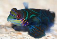 ปลาแมนดาริน มังกรน้อย แห่งใต้ท้องทะเลลึก