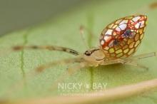 """sequined spiders"" แมงมุมที่สวยที่สุดเท่าที่เคยเห็น"