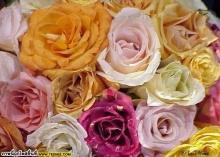 กุหลาบสีสวย(2)